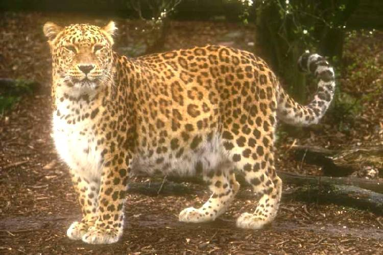 http://www.users.waitrose.com/~theheath/2004_BigCats/slides/PersianLeopard1.jpg